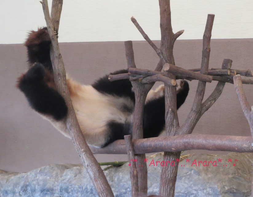 アドベンチャーワールドのパンダ画像