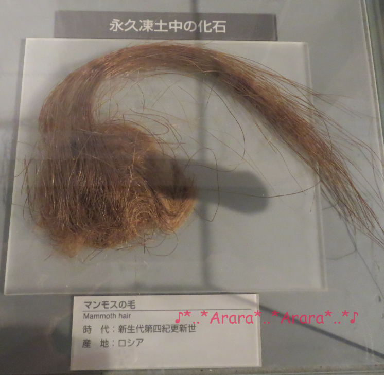 恐竜博物館のマンモスの毛の化石画像
