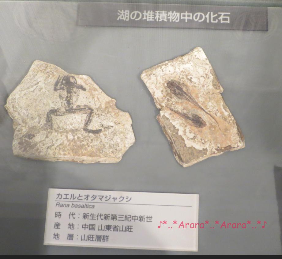 恐竜博物館のカエルとオタマジャクシの化石