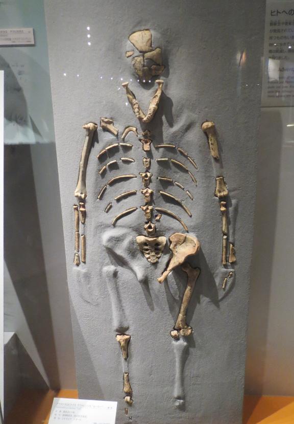 恐竜博物館のヒトの骨格画像