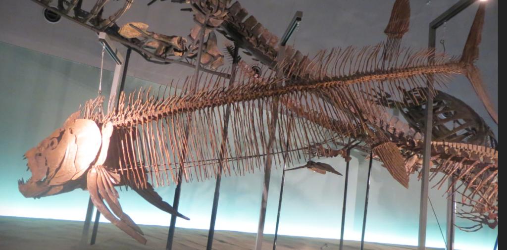 恐竜博物館の魚の標本画像