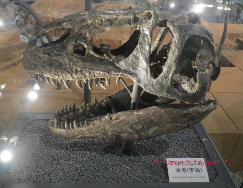福井県立恐竜博物館の実物の恐竜骨格