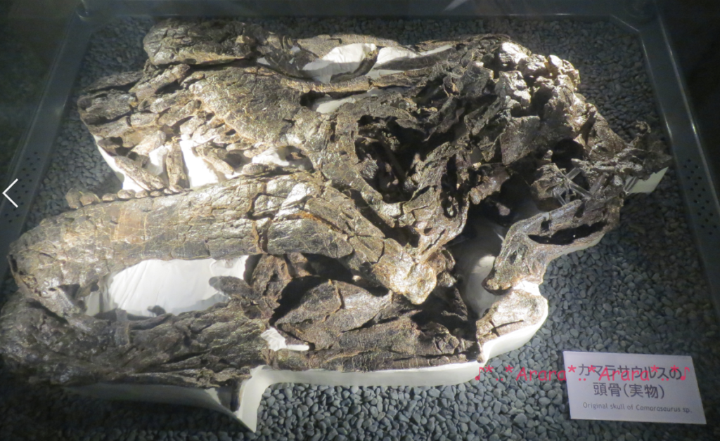 福井県立恐竜博物館の実物の恐竜骨格画像